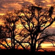 Drvo, hrastovi